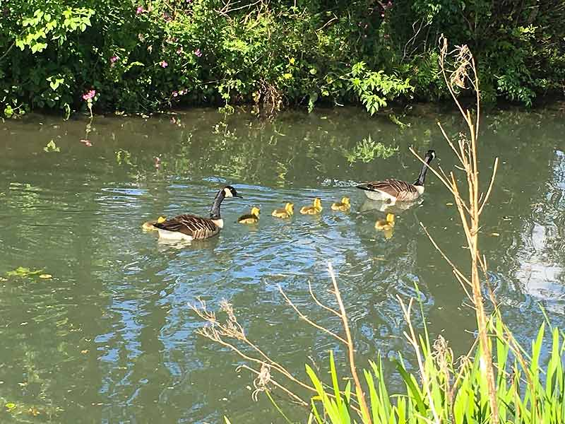 Ducks along Cromford canal
